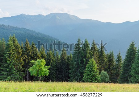 Summer landscape in the mountains. Maple tree on a green meadow with grass. Mountain slopes with fir forest. Karpaty, Ukraine, Europe - stock photo