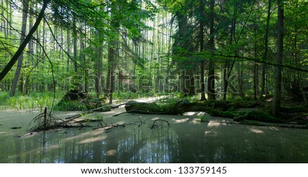 Summer landscape of old forest and broken moss wrapped tree lying in water - stock photo