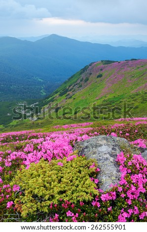 Summer landscape. Pink flowers. Blooming rhododendron. Beauty in nature - stock photo
