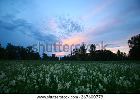 summer landscape pink sunset over the meadow with white wild flowers and trees on the horizon - stock photo