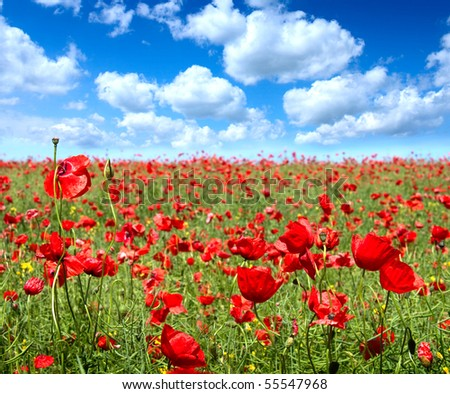 Summer landscape, poppy flowers filed and perfect blue sky.