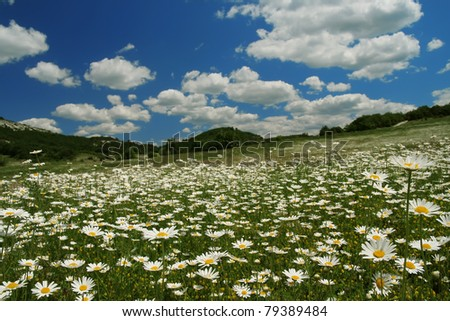 summer landscape - valley of flowering camomiles - stock photo