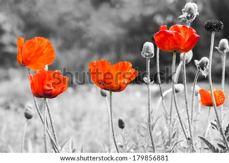 Summer landscape - wild red poppies flowers on field - stock photo