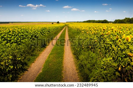 Summer landscape with a field of sunflowers - stock photo