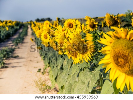 Summer landscape with a field of sunflowers, a dirt road - stock photo