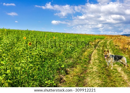 Summer landscape with a field of sunflowers, a dirt road, and a German shepherd - stock photo