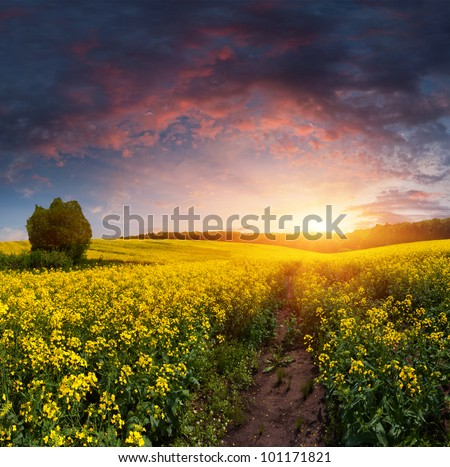Summer Landscape with a field of yellow flowers. Sunset - stock photo