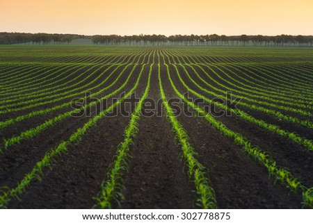 Summer landscape with a field of young corn. Ukraine, Europe - stock photo