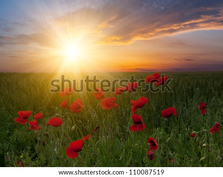 Summer landscape with big meadow with poppies and beautiful sunset on background - stock photo