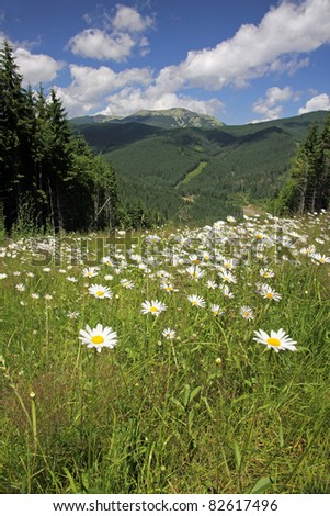 Summer landscape with camomiles field, Carpathian mountains, Ukraine - stock photo