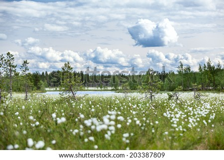 Summer landscape with cotton grass on swamp and river at distance - stock photo