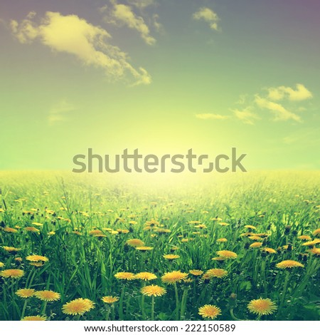 Summer landscape with dandelion field in vintage  style. - stock photo