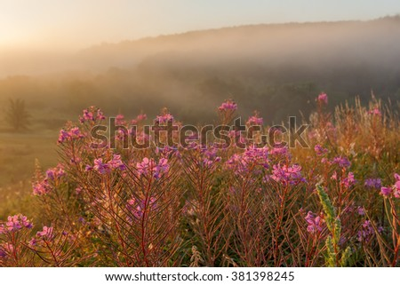 Summer landscape with fireweed blooming sunny misty morning - stock photo
