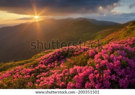 Summer landscape with flowers of rhododendron. Evening with a beautiful sky in the mountains. Glade of pink flowers. Carpathians, Ukraine, Europe - stock photo