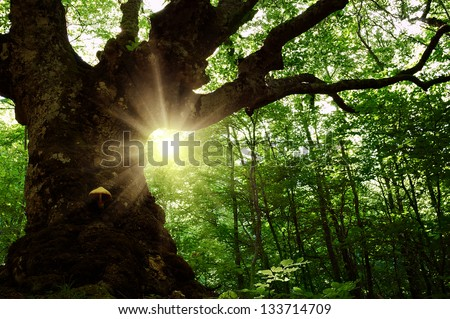 Summer landscape with old tree in the forest and sun in the leaves - stock photo