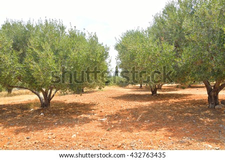 Summer landscape with olive grove in Crete, Greece. - stock photo