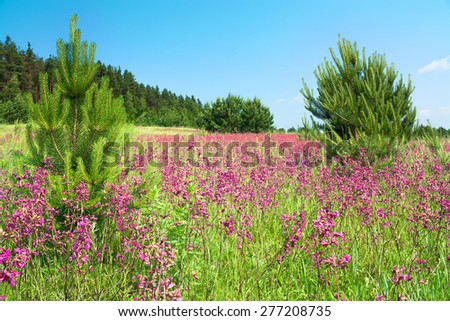 summer landscape with the blossoming pink flowers on a meadow