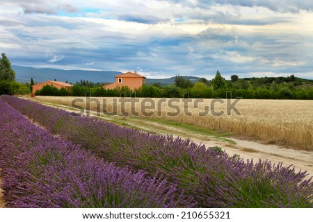Summer Landscape with Wheat and Lavender field in Provence, southern France - stock photo