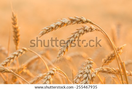 Summer Landscape with Wheat Field and Clouds - stock photo