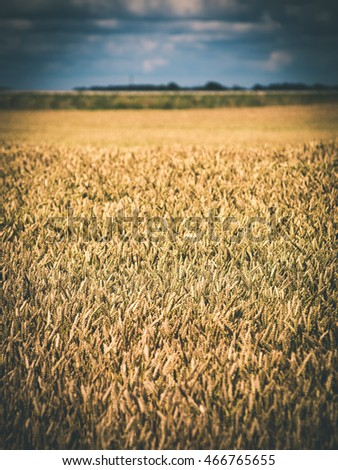 Summer Landscape with Wheat Field and Clouds in latvia - vintage film effect