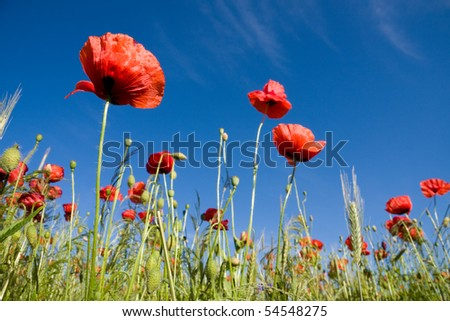 Summer landscape with wheat field and poppies flowers - stock photo