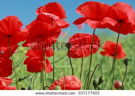 Summer landscape with wheat field and poppies flowers, blue sky - stock photo