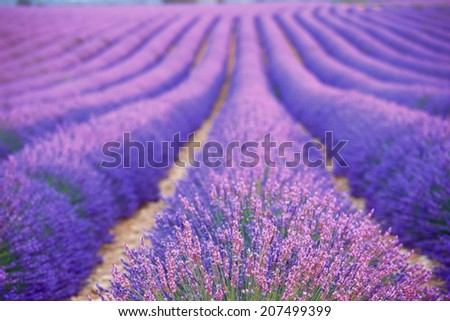 summer lavender farm at Provence, France - stock photo
