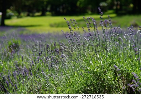 Summer lavender field in bloom - background. - stock photo