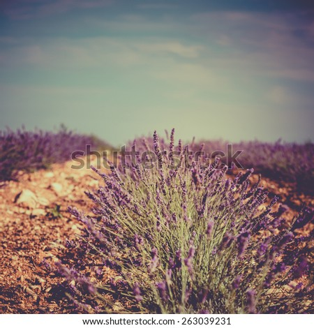 Summer lavender field in Provence, France. Instagram style shot with a selective focus - stock photo