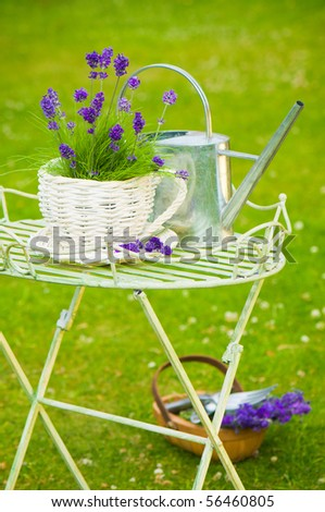 Summer lavender in the garden with watering can and basket of lavender on the grass