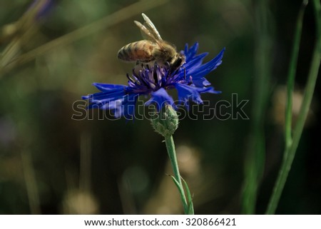 Summer macro floral  background with bee and wild cornflower - stock photo