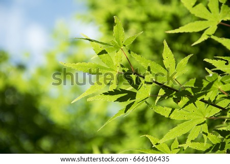 Summer Maple Leaves. Fresh green leaf background.