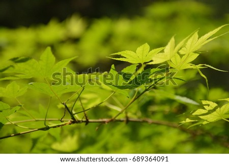 Summer maple leaves in Japan