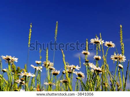Summer meadow background with blooming daisy flowers and bright blue sky - stock photo