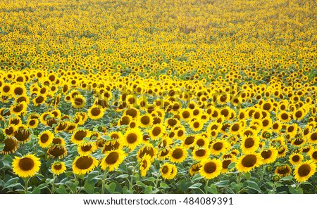 Summer meadow with beautiful yellow  sunflowers