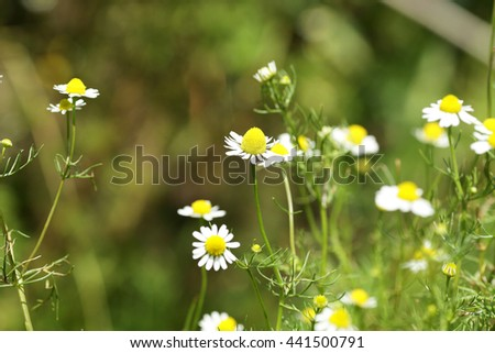 Summer meadow with the blossoming camomiles - stock photo