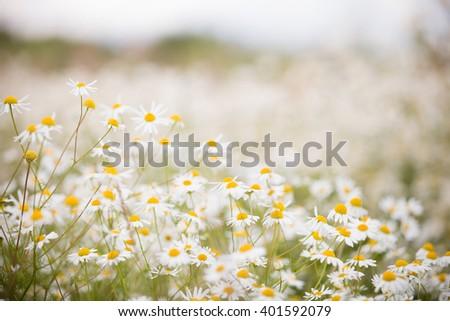 Summer meadow with the blossoming chamomiles. Wild chamomile flowers on a field on a sunny day - stock photo