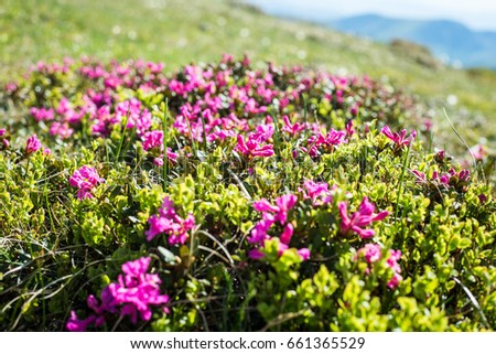 Summer mountain ranges of the Carpathians are covered with a carpet of beautiful flowers - crocuses, bells of rhododendrons.