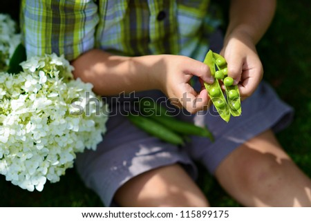 Summer, nature and peas in children's palms - stock photo