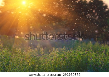 Summer Nature. Landscape meadow at sunset. Transparent columns of midges over tall grass  in front of the sun.  Blurred background. - stock photo