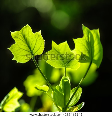 Summer or spring nature concept with green leaves backlit with sun and bokeh. - stock photo