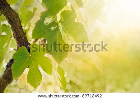 Summer or spring season background with vine leaves in the vineyard and sun rays - stock photo