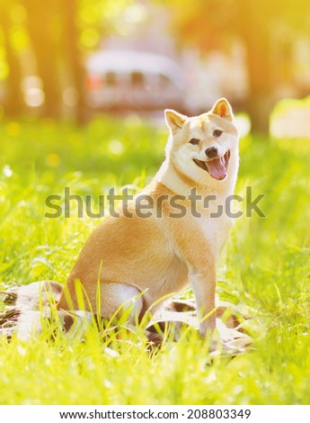 Summer photo happy dog Shiba Inu sitting on the grass - stock photo