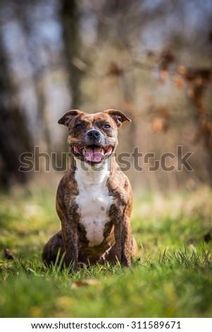 summer photo of beautiful female stafbull terrier posing outside - stock photo