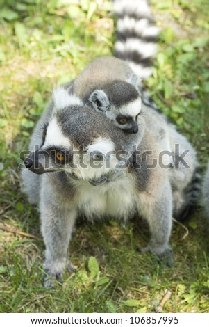 summer photo of the lemur family in the Budapest Zoo - stock photo
