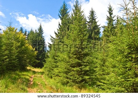 summer pine forest - stock photo