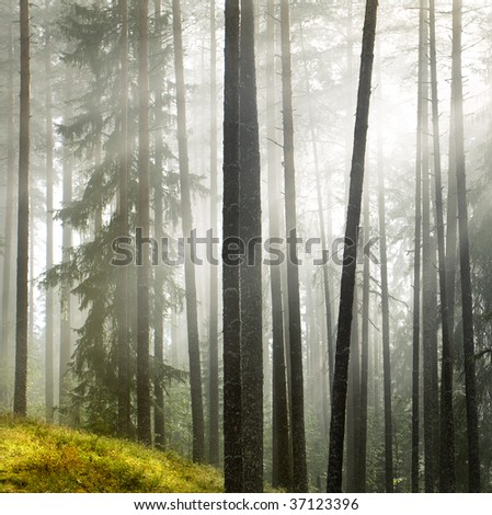 Summer pine forest after rain,focal center on the front tree - stock photo
