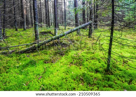 Summer pine forest with moss ground - stock photo
