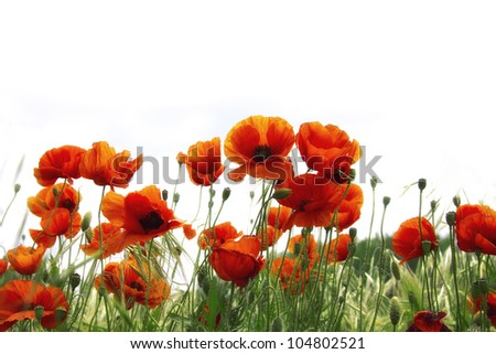 Summer poppies (Beautiful poppies border) - stock photo
