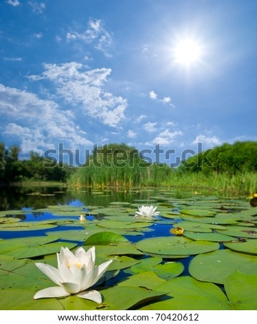summer river lilies and a sun - stock photo